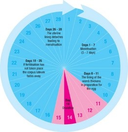 Image result for typical menstrual cycle illustration